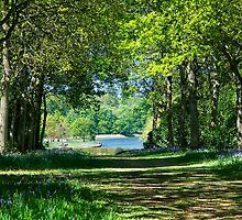 Dappled Bluebell Wood by ColinKemp