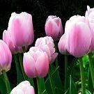 Tulip Landscape by ColinKemp