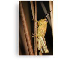 Just A Grasshopper Canvas Print