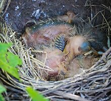 Baby Robin Triplets by Christy Patino