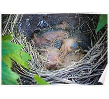 Baby Robin Triplets Poster