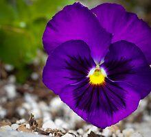 Purple & Yellow Pansy by Christy Patino