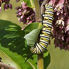 Monarch Caterpillar by Bill McMullen