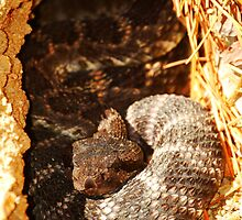 Crotalus by Ron Hannah