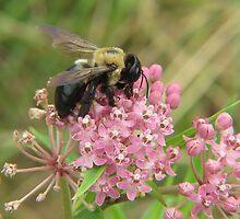 Bumblebee on Milkweed by Ron Russell