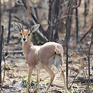 Duiker by MarkySA
