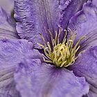 Purple Clematis by Ray Clarke