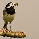 White Wagtail by Sanne Hoekstra