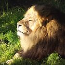 Sunlight Lion by jem16