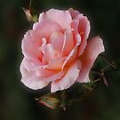 Pink Rose Photo by artonwear
