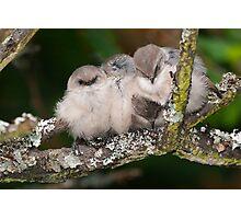 Snuggling Bushtits Photographic Print