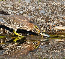 Juvenile Green Heron Fishing by Tom Talbott