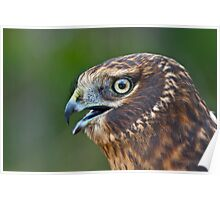 Northern Harrier Portrait Poster