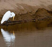 Great Egret Fishing by Tom Talbott