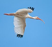 Ibis in Flight by Bonnie T.  Barry