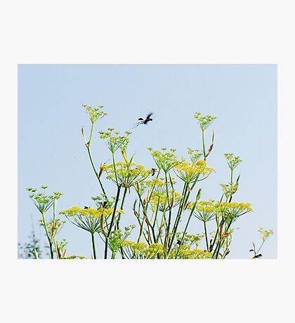 Fennel Flowers and Wasps Photographic Print