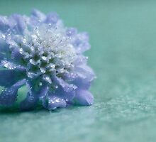 Scabiosa columbaria - Dove Pincushion by Megan Noble