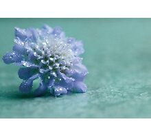 Scabiosa columbaria - Dove Pincushion Photographic Print