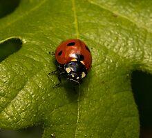 Oakleaf Ladybug by copperblue