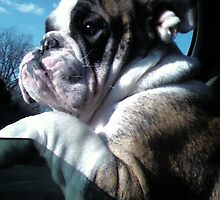 Slugger the English Bulldog by Wyatt Thomas
