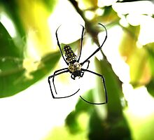 Orb Weaver Spider by plopezjr