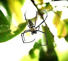 Orb Weaver Spider by plopezjr