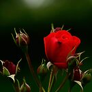 Red rose in Shadows by Chris1249