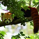 Red Panda by TheCroc1979