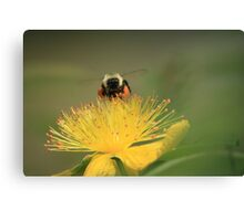 hovering for honey Canvas Print