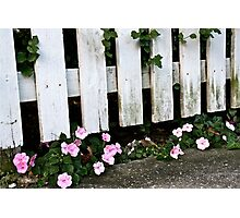Pink Among the Pickets Photographic Print