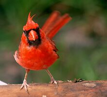 Eye contact with a cardinal by ?? B. Randi Bailey