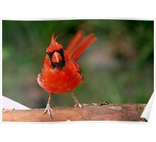 Eye contact with a cardinal Poster