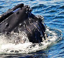 Humpback Whale by joevoz