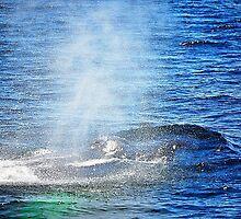 Humpback Whale taking a Breath by joevoz