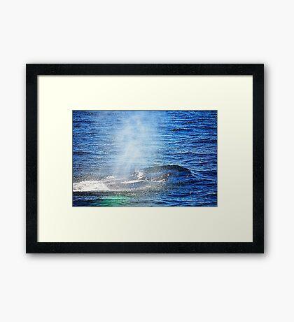 Humpback Whale taking a Breath Framed Print