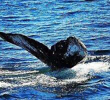 Humpback Whale Tail Fluke  by joevoz