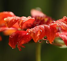 Luscious Drops by Lynn Gedeon