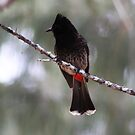 Red-vented Bulbul by Alyce Taylor