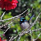 Blue wren and Camelia by kathiemt