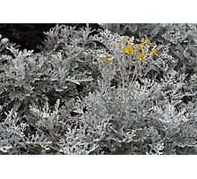 Silver grey bush with bright yellow flowers (not photoshopped at all) Photographic Print