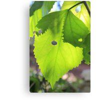Sun shining through leaf - 4 Canvas Print