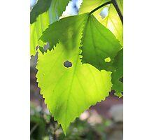 Sun shining through leaf - 4 Photographic Print