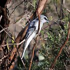 White-bellied Cuckoo-shrike by mosaicavenues