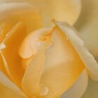 Yellow Rose by JulieGrant