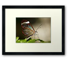 Glasswinged tropical butterfly Framed Print
