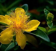 Saint Johns Wort by homendn