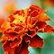 The Common Marigold