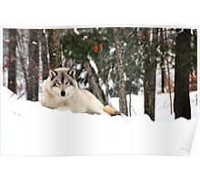 I am watching you - Timber Wolf Poster