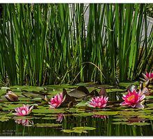 Lily Pond by MrsRatbag