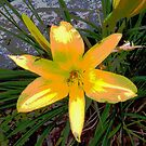Yellow Lily With Scripture by teresa731